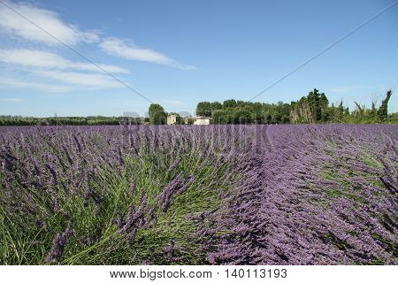 Lavender field in bloom in Provence, France