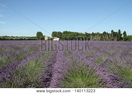 Lavender field in Provence, France in summer