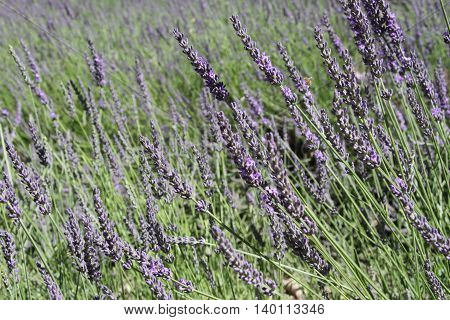 Lavender in bloom in summertime in France
