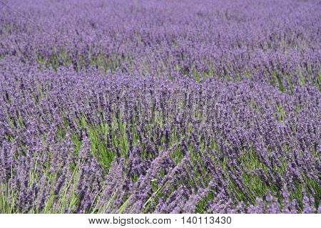 Bright purple lavender field in Provence in France, Europe