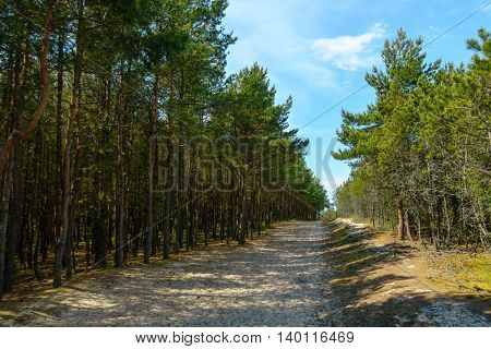Pine forest on the dunes at the Curonian Spit