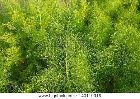 Green fennel plants in garden in spring.