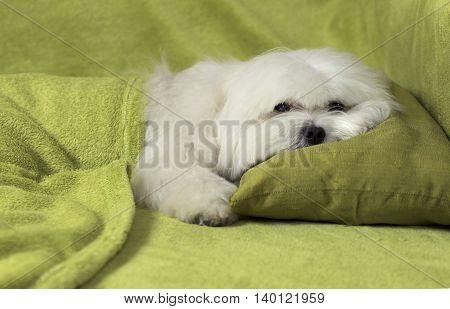 White maltese dog ready to sleep on a green blanket