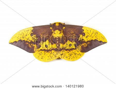 Large Imperial Moth (Eacles imperialis) on a white background