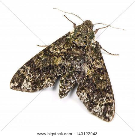 Pawpaw Sphinx moth (Dolba hyloeus) isolated on a white background