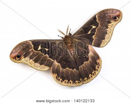 Male Tulip-tree Silkmoth (Callosamia angulifera) isolated on a white background