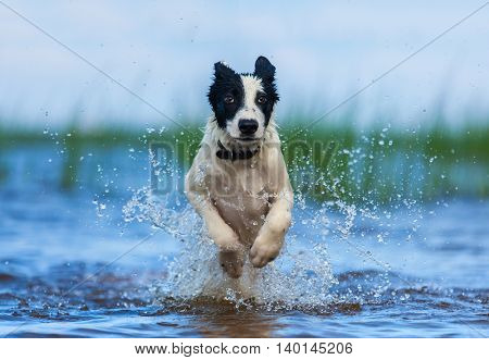 Running puppy of watchdog over water. Horizontal outdoors image. Front view.