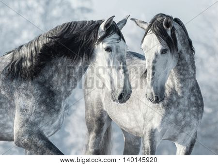 Portrait of two spanish grey stallions in winter forest. Monochromatic wintertime horizontal outdoors image.