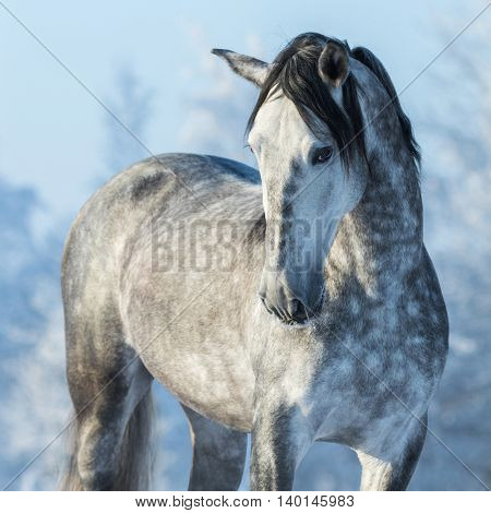 Portrait of thoroughbred gray stallion in winter forest on a blue sky background. Multicolored wintertime square outdoors image.