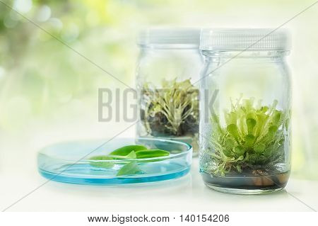 Sundew (Carnivorous Plant)Plant tissue culture in the laboratory
