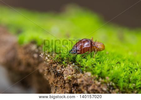 Close up termites or white ants destroyed on green moss in forest poster