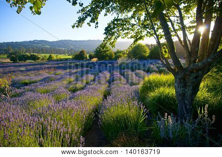 Lavender Garden In Bloom