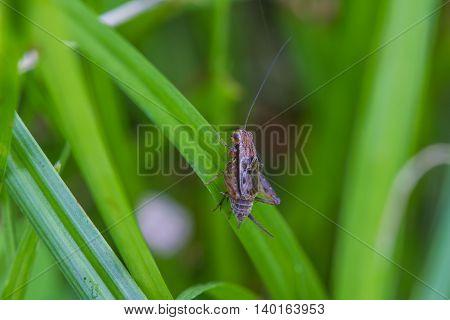 Close Up House Cricket (acheta Domestica)