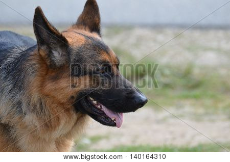 Side profile of a German Shepherd dog with his ears perked up.