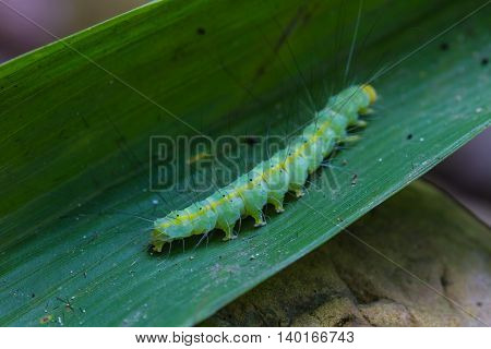 Caterpillar, Close Up Caterpillar In Tropical Forest