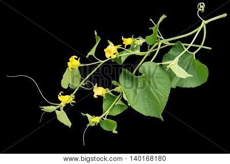 Thladiantha dubia or Manchu tubergourd goldencreeper wild potato isolated on a black background. Use as an ornamental plant of the Cucurbitaceae family as a medicinal herb in Chinese medicine