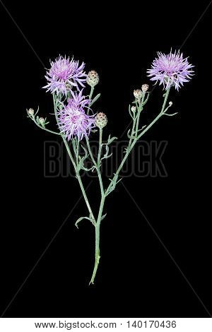 Medicinal plant Centaurea jacea (brown knapweed or brownray knapweed) isolated on a black background. Used in herbal medicine as well as a good honey plant