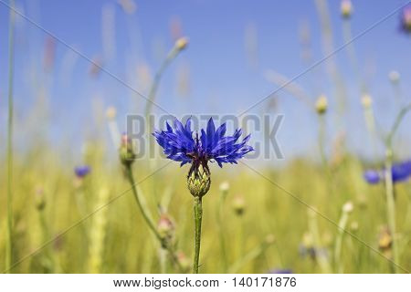 Blue knapweed in the Rye Field. Blue wild flower with summer blurry background.
