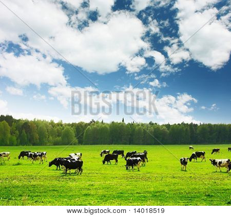 Herd of cows on green meadow under blue sky with clouds