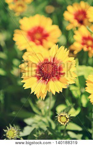 a detail of beautiful yellow orange Gaillardia flowers