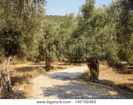 Olive Trees Plantation In Lefkada Island Greece