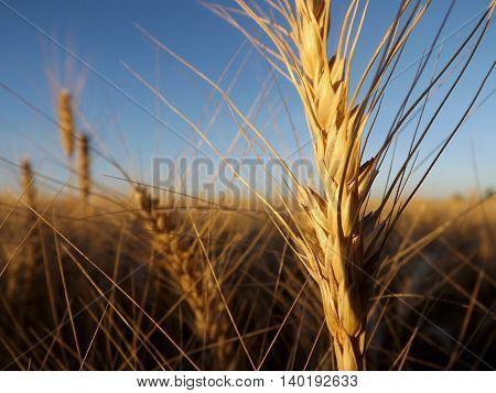 wheat, agriculture, wheat plants, trigo, agricultura, plantas de trigo