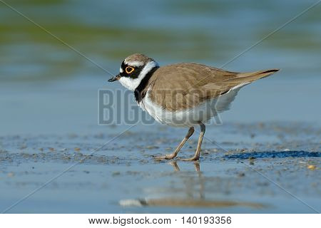 little ringed plover in natural habitat (Charadrius dubius)