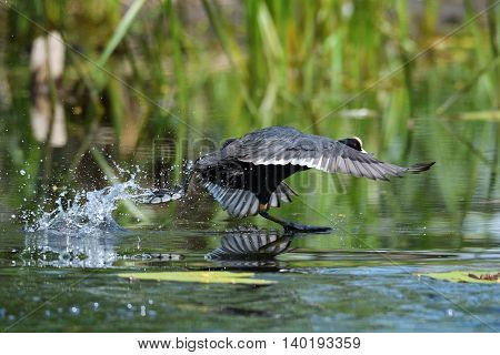 agitated coots on the lake in spring (fulica atra)