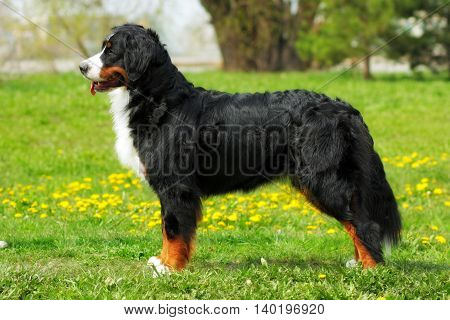purebred dog Bernese mountain dog standing in show position in the summer outdoors side view at full height
