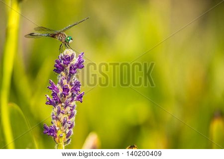A Dragonfly resting on a Pickerel Weed flower in a marsh.