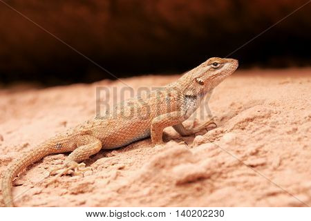 Lizard in the sand in the desert