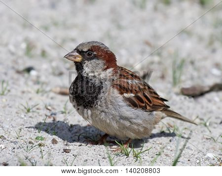 House sparrow (Passer domesticus) stitting on the ground in sand resting