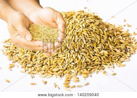 Paddy in hand  and paddy isolated on white background.Raw food or Rice has not yet been processed.