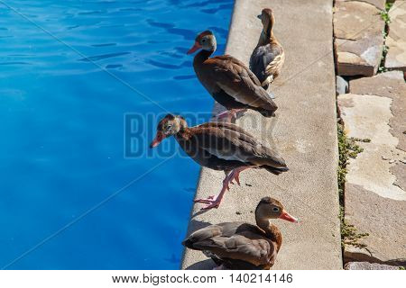 funny duck group on pool on a summer day