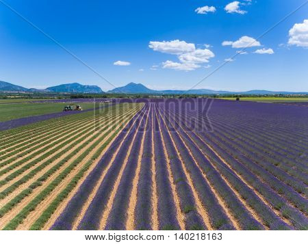 Lavender field in France during harvest time, Provence. Tractor and harvester in action. Photographed from aerial view