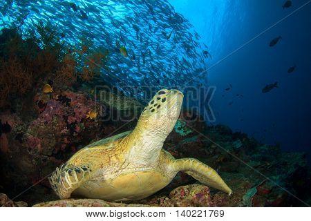 Green Turtle rests on coral reef. School Bigeye Jack (Trevally) fish above