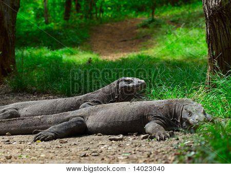 Komodo dragons lying near green grass and looking to somwhere. Rinca island. National park Komodo.