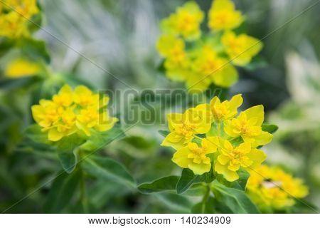 beautiful spring yellow  flower. closeup
