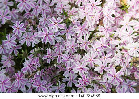 beautiful flower pink phlox. closeup
