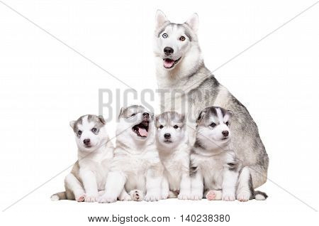Puppies Husky sitting together with mum isolated on white background