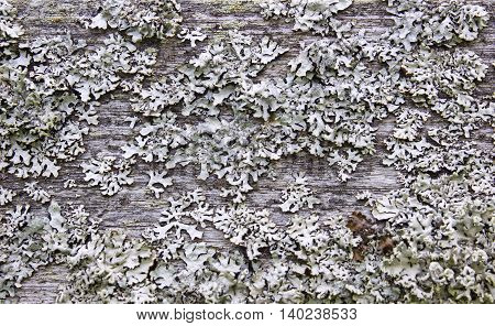 Lichen Pattern on a wood texture. Original gray nature abstract organic background. Lichen close up view.