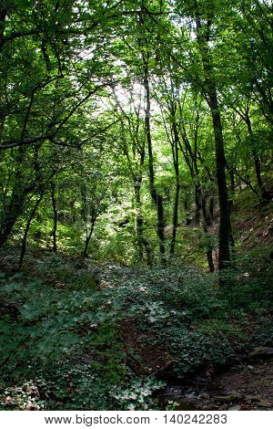 thick impenetrable forest with winding ivy on the ground