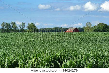 Farmers Field And Corn Crop