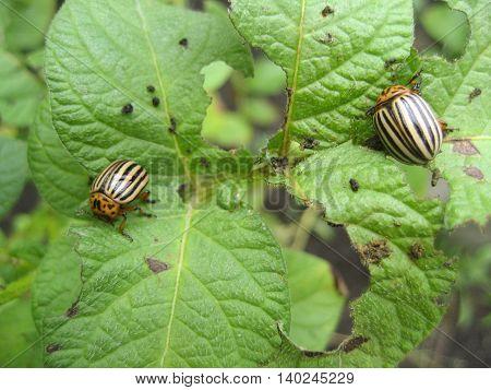 Colorado beetle eats a potato leaves Colorado beetle eats a potato leaves