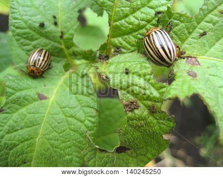 Colorado beetle on potato leaf.Colorado beetle eats a potato leaves