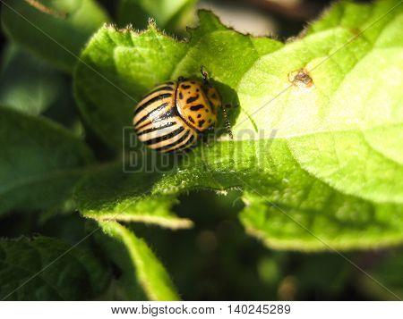 Colorado beetle on potato leaf . Colorado beetle eats a potato leaves