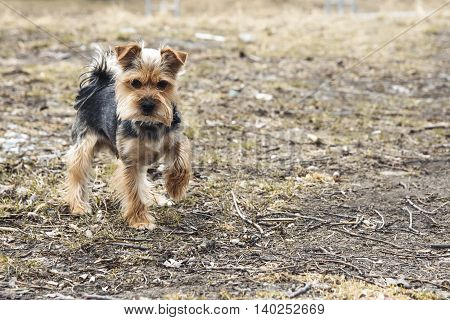 Yong Yorkshire Terrier Dog outside on walk.
