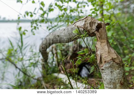 Trunk Of Fallen Tree Eared By Beaver
