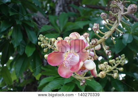 Cannonball flower from tree in park bangkok