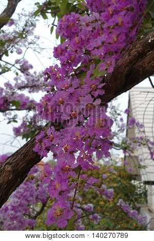 Inthanin flowers or Queen crape myrtle Lagerstroemia macrocarpa Wall